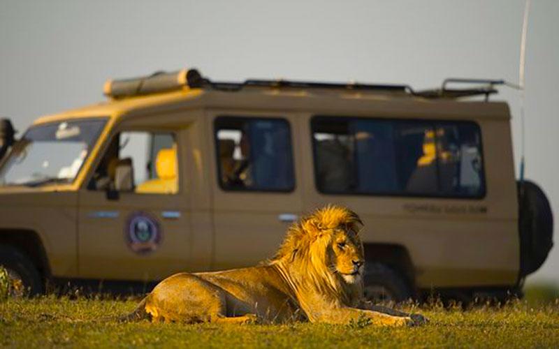 Roy-Safaris-Lion