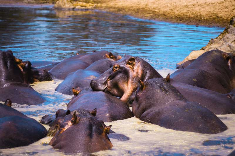Selous-Game-Reserve-Hippos