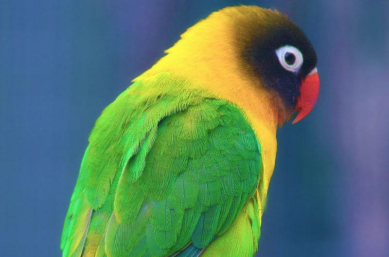 Yellow-collared lovebird