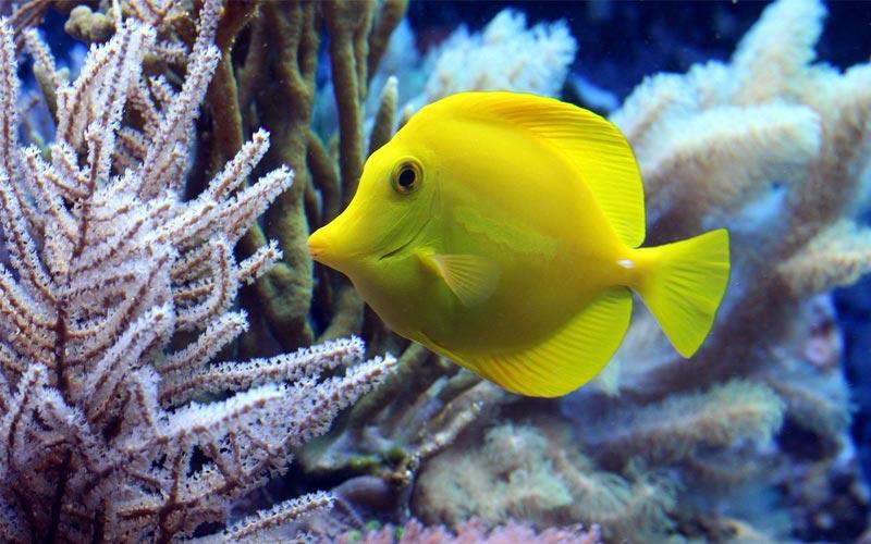 Yellow-fish-diving-zanzibar