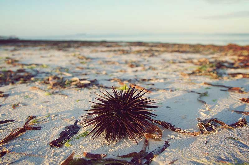 Zanzibar-beach-black-sea-urchin