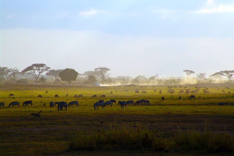 Zebra-Safari