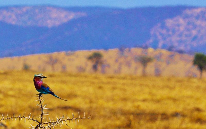 lilac-breasted-roller-savanna-serengeti