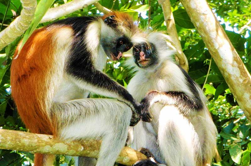 red-colobus-monkeys-gombe