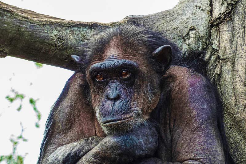 Best-safari-in-Tanzania-Chimpanzee
