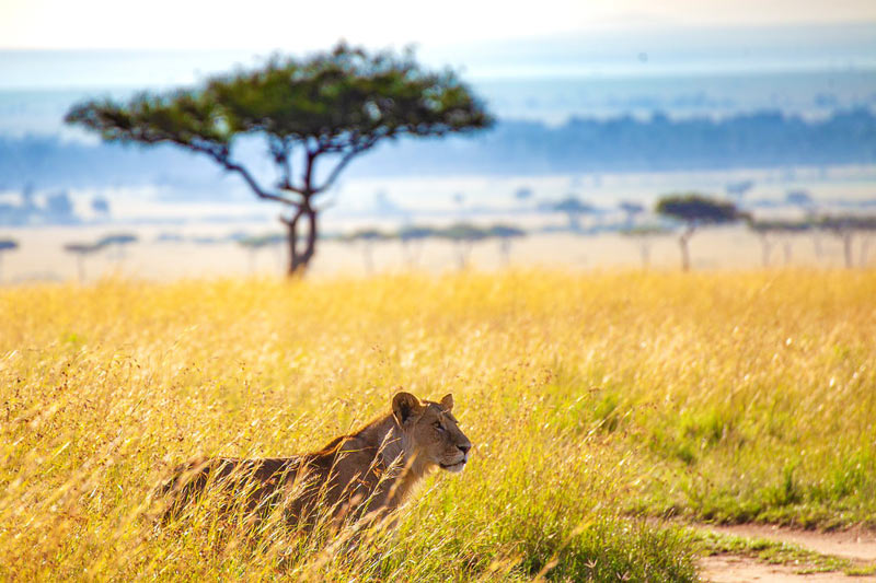 Best-safari-in-Tanzania-Serengeti-Lioness