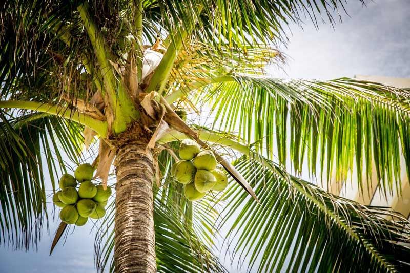 Coconut-Tree-Pemba-Zanzibar
