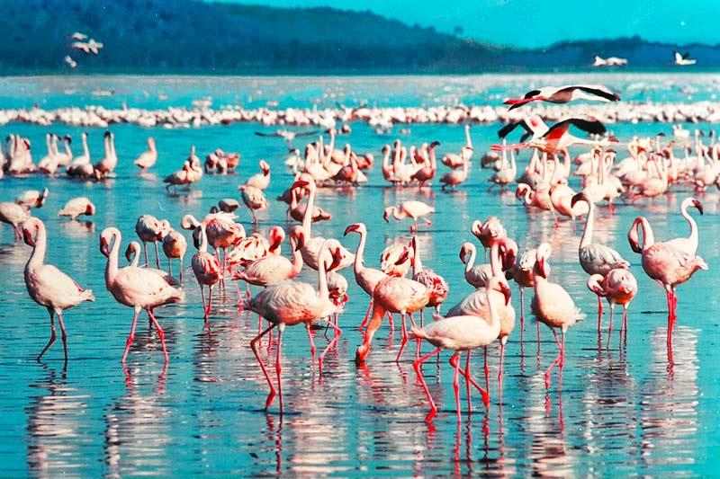 Pink-Flamingos-in-Lake-Tanzania-Safari
