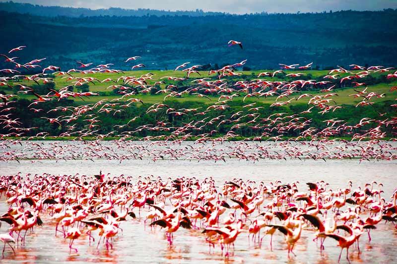 Pink-Flamingos-on-the-Lake-Tanzania-Safari